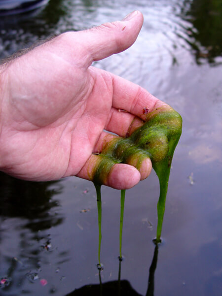 Blanket weed lifted out from a ponds surface