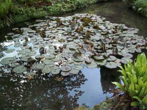Restoring a neglected garden pond resulted in a healthy one with plant cover