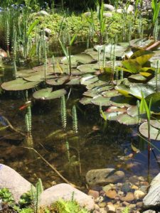 Aquatic plants thriving in this pond providing essential cover to fish