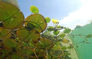Under water photo of submerged aquatic plants