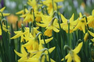 Daffodils in flower welcoming the coming of Spring