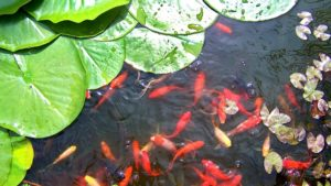 Goldfish swimming in a healthy garden pond