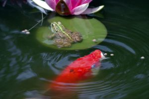 Koi feeding in a koi pond with a frog on a lily pad