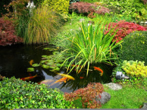 Koi swimming about in a garden pond