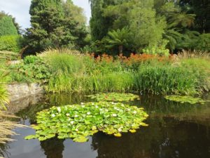 Established garden pond with water lilies filling the centre of the pond