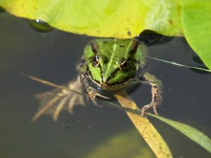 Frogs are attracted to ponds built to attract wildlife