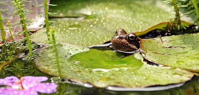 Frog peeping through lily pad on a wildlife garden pond