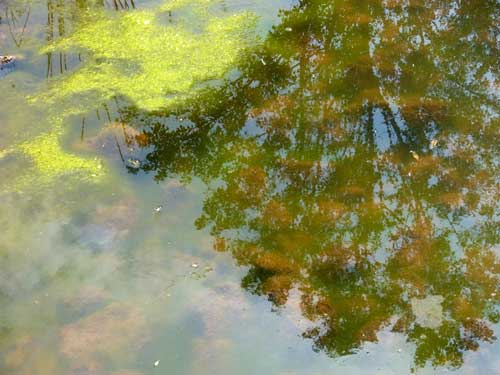 String Algae in pond can affect pond-
