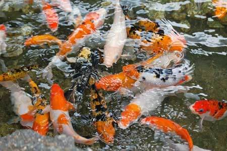 Koi pond and importance of stocking density